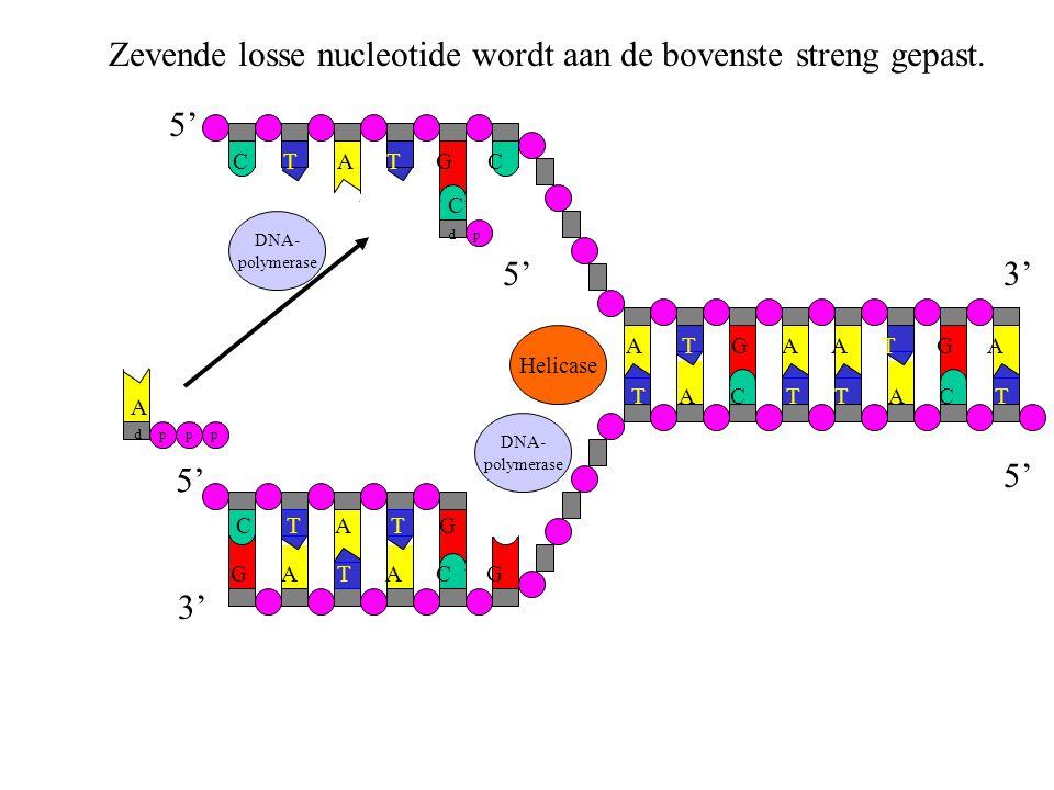 DNA- polymerase Zevende losse nucleotide wordt aan de bovenste streng gepast. G A T A C G C T A T G C T A T G C A T G A T A C T C d p Helicase DNA- po