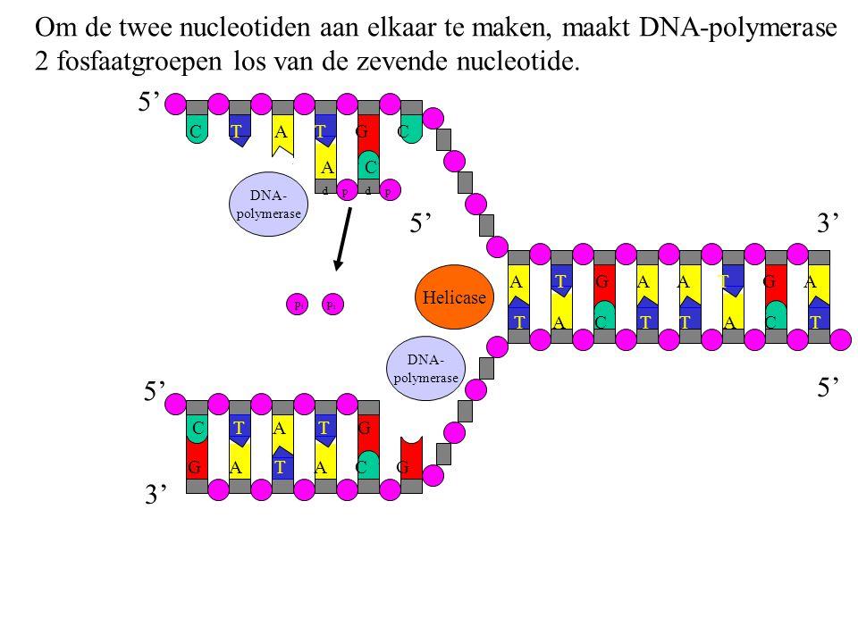 Om de twee nucleotiden aan elkaar te maken, maakt DNA-polymerase 2 fosfaatgroepen los van de zevende nucleotide. G A T A C G C T A T G C T A T G C A T