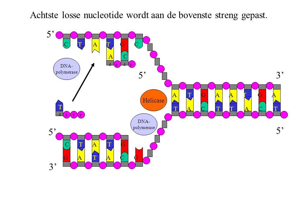 DNA- polymerase Achtste losse nucleotide wordt aan de bovenste streng gepast. G A T A C G C T A T G T A C T A T G A C T A T G C Helicase DNA- polymera