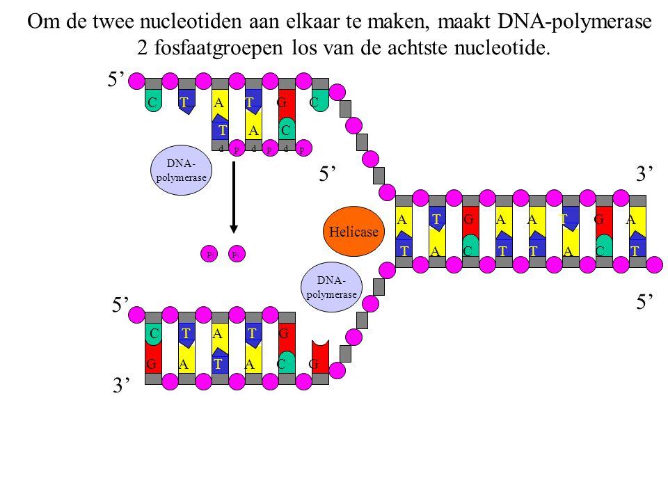 Om de twee nucleotiden aan elkaar te maken, maakt DNA-polymerase 2 fosfaatgroepen los van de achtste nucleotide. G A T A C G C T A T G T A C T A T G A