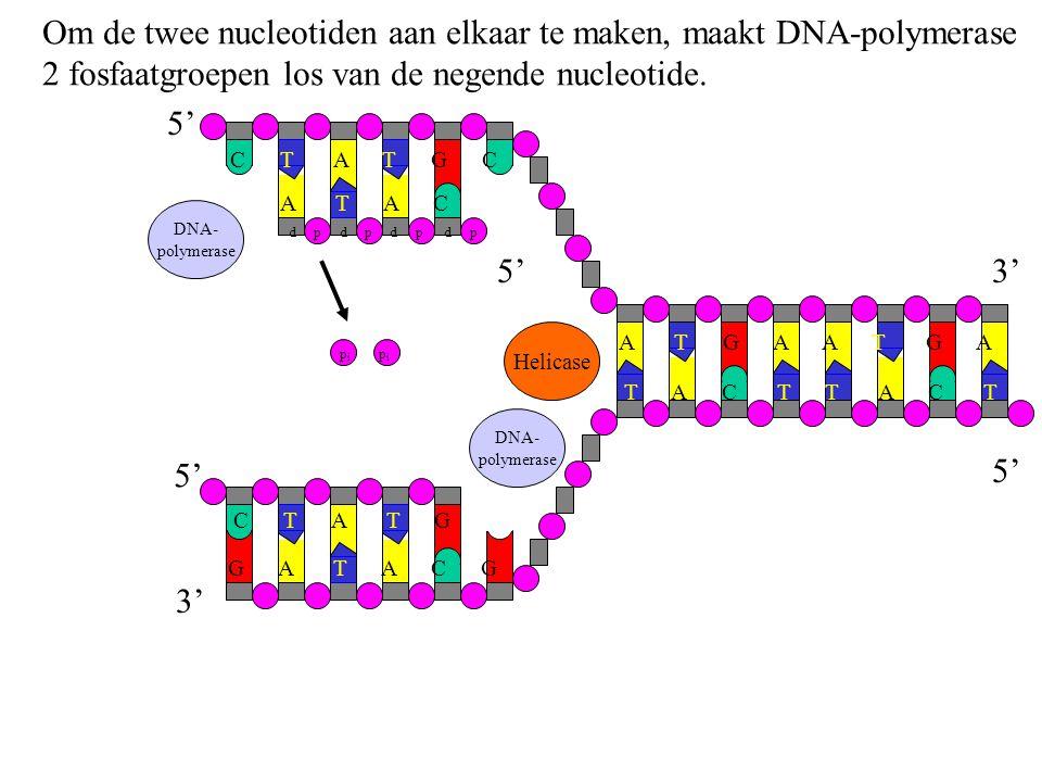 DNA- polymerase Om de twee nucleotiden aan elkaar te maken, maakt DNA-polymerase 2 fosfaatgroepen los van de negende nucleotide. G A T A C G C T A T G