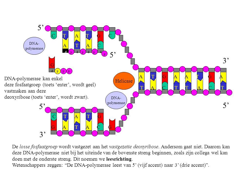 DNA-polymerase kan enkel deze fosfaatgroep (toets 'enter', wordt geel) vastmaken aan deze deoxyribose (toets 'enter', wordt zwart). De losse fosfaatgr