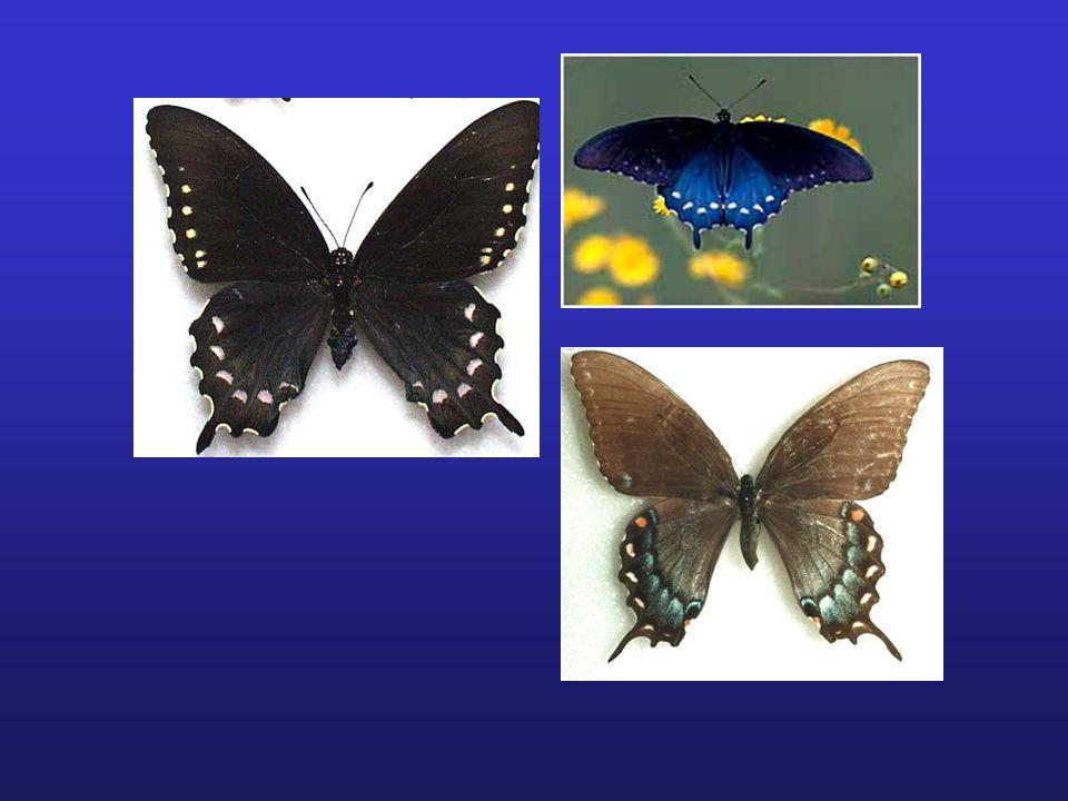 EVOLUTION IN PAPILIO BUTTERFLIES