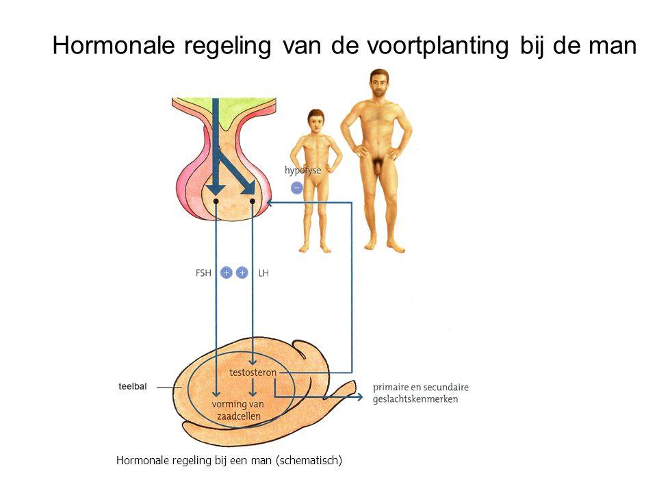 Hormonale regeling van de voortplanting bij de man Hormonale regeling bij een man (schematisch)