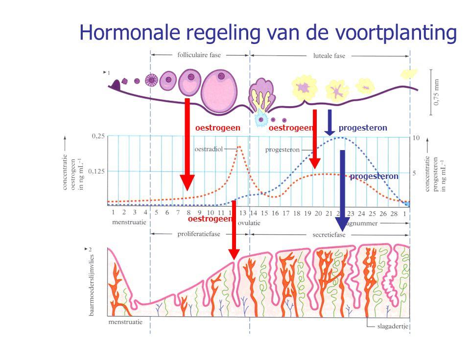 Processen in het baarmoederslijmvlies en de eierstok indien er geen zwangerschap optreedt 1