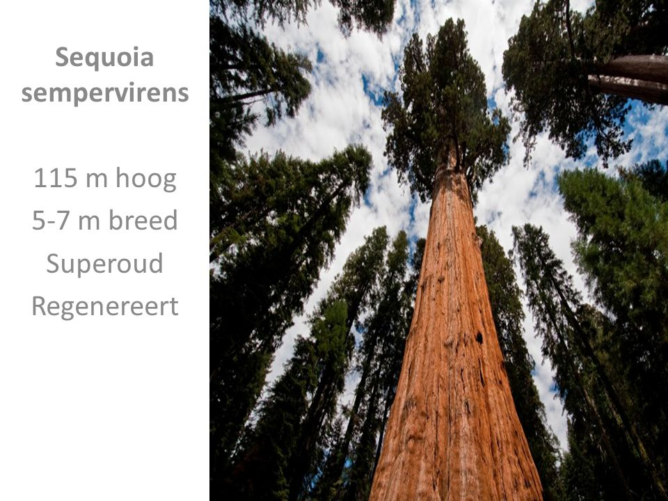 Sequoia sempervirens 115 m hoog 5-7 m breed Superoud Regenereert