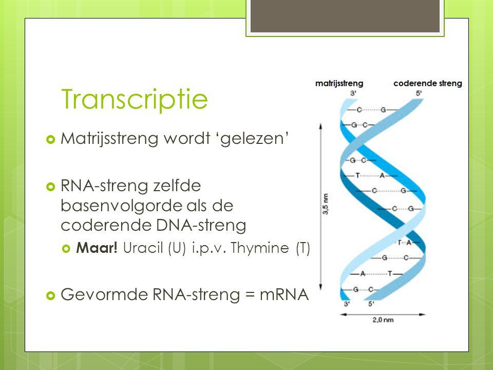 Transcriptie  Matrijsstreng wordt 'gelezen'  RNA-streng zelfde basenvolgorde als de coderende DNA-streng  Maar! Uracil (U) i.p.v. Thymine (T)  Gev