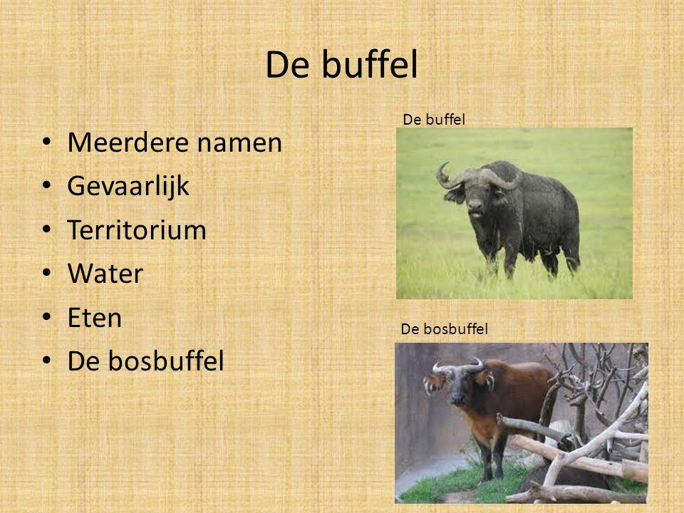 De buffel Meerdere namen Gevaarlijk Territorium Water Eten De bosbuffel De buffel De bosbuffel