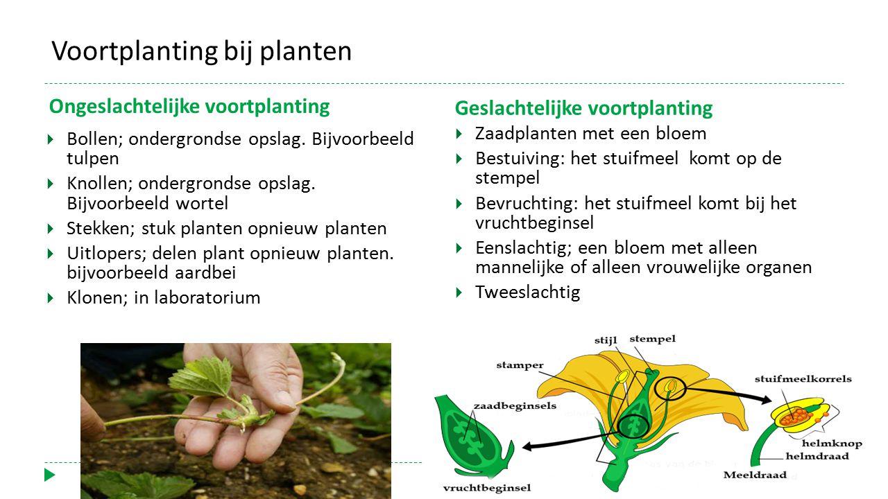 Voortplanting bij planten Ongeslachtelijke voortplanting  Bollen; ondergrondse opslag. Bijvoorbeeld tulpen  Knollen; ondergrondse opslag. Bijvoorbee