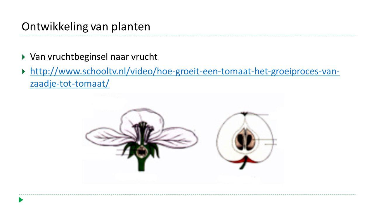 Ontwikkeling van planten  Van vruchtbeginsel naar vrucht  http://www.schooltv.nl/video/hoe-groeit-een-tomaat-het-groeiproces-van- zaadje-tot-tomaat/
