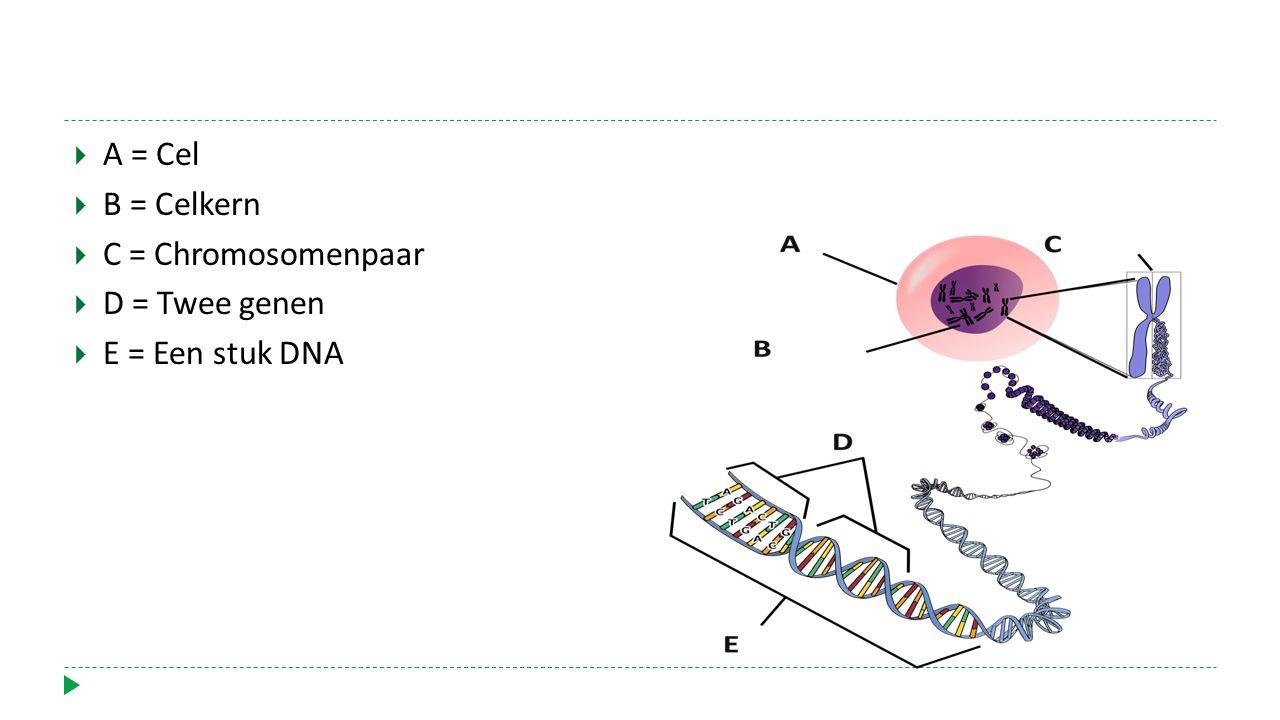  A = Cel  B = Celkern  C = Chromosomenpaar  D = Twee genen  E = Een stuk DNA