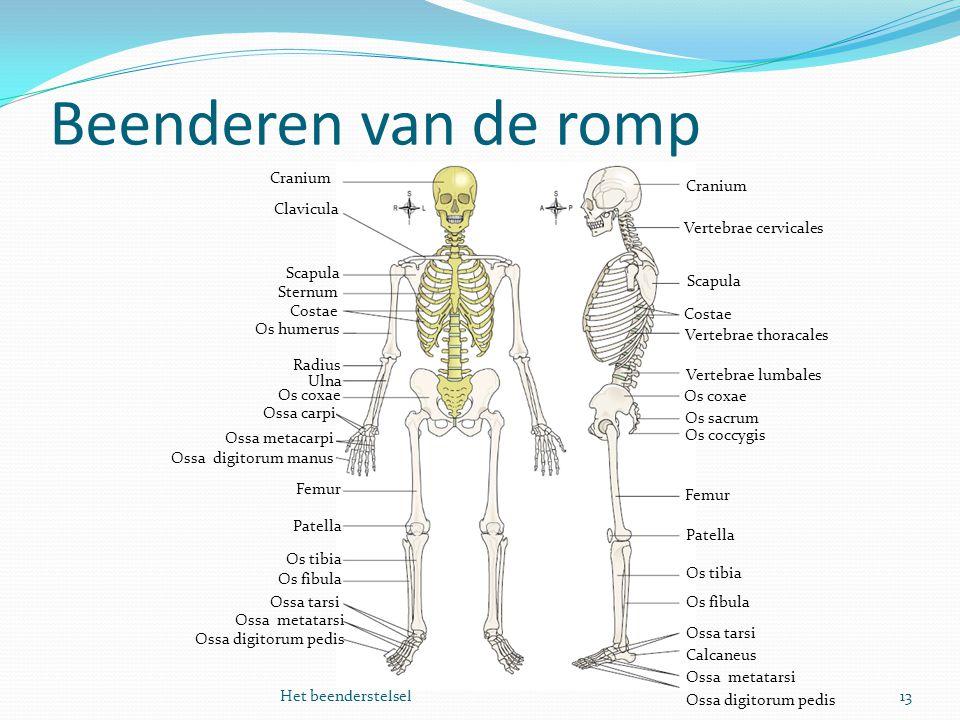 Beenderen van de romp 13Het beenderstelsel Cranium Clavicula Vertebrae cervicales Scapula Costae Vertebrae thoracales Femur Os coccygis Os sacrum Os c