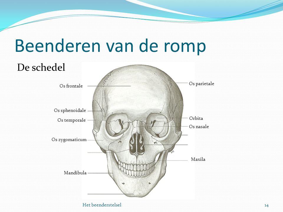 Beenderen van de romp 14Het beenderstelsel De schedel Os frontale Mandibula Os sphenoidale Os temporale Os zygomaticum Maxila Orbita Os nasale Os pari