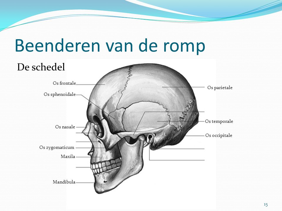Beenderen van de romp 15Het beenderstelsel De schedel Os parietale Os frontale Os sphenoidale Os zygomaticum Os nasale Mandibula Maxila Os temporale O