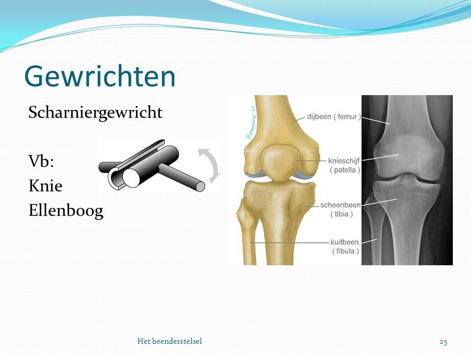 Gewrichten 25Het beenderstelsel Scharniergewricht Vb: Knie Ellenboog