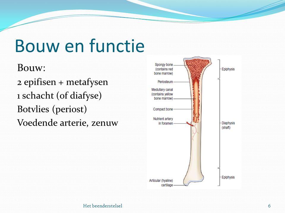 Bouw en functie 6Het beenderstelsel Bouw: 2 epifisen + metafysen 1 schacht (of diafyse) Botvlies (periost) Voedende arterie, zenuw