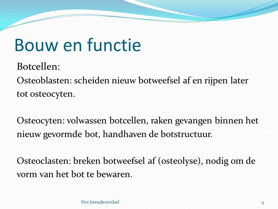 Bouw en functie 9Het beenderstelsel Botcellen: Osteoblasten: scheiden nieuw botweefsel af en rijpen later tot osteocyten. Osteocyten: volwassen botcel