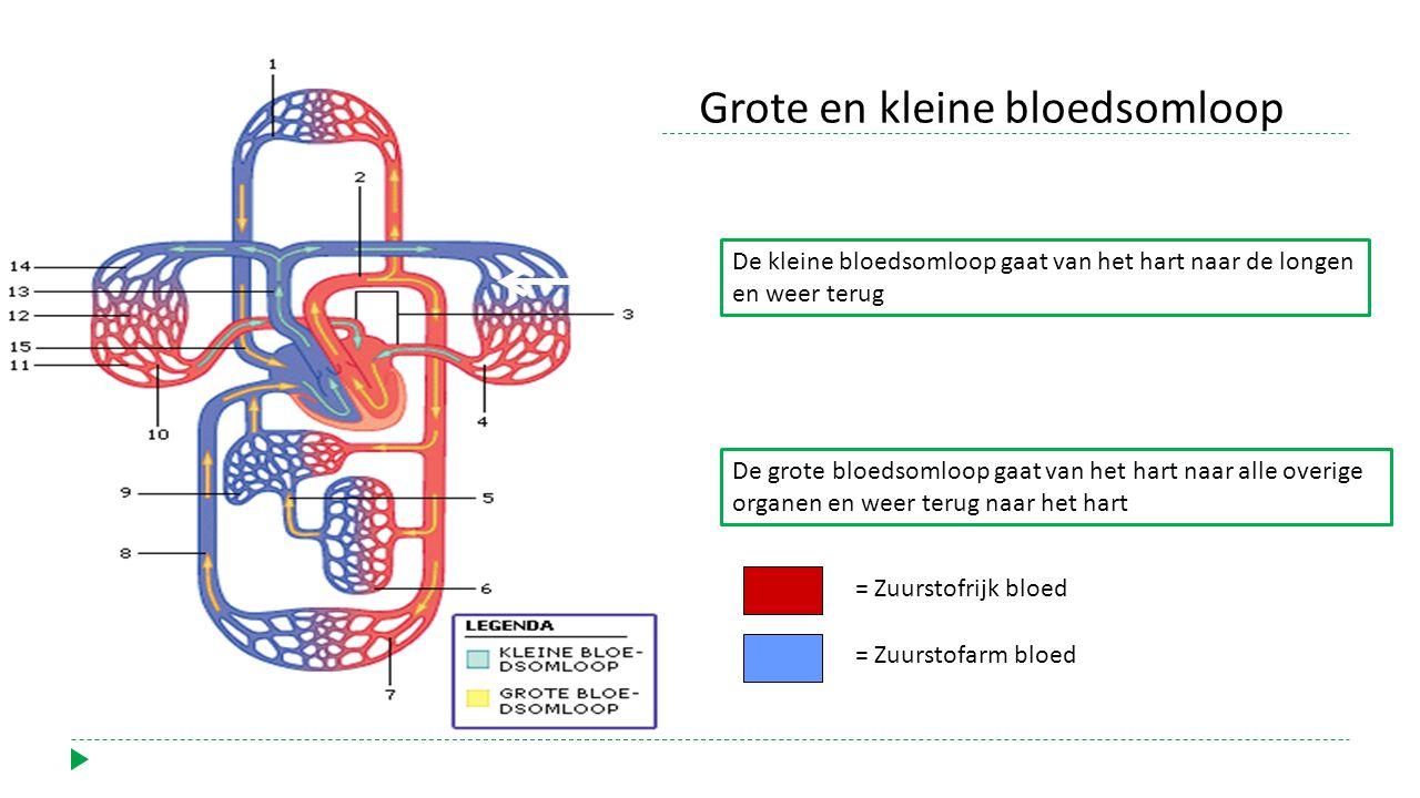 De grote bloedsomloop gaat van het hart naar alle overige organen en weer terug naar het hart = Zuurstofrijk bloed = Zuurstofarm bloed De kleine bloedsomloop gaat van het hart naar de longen en weer terug Grote en kleine bloedsomloop