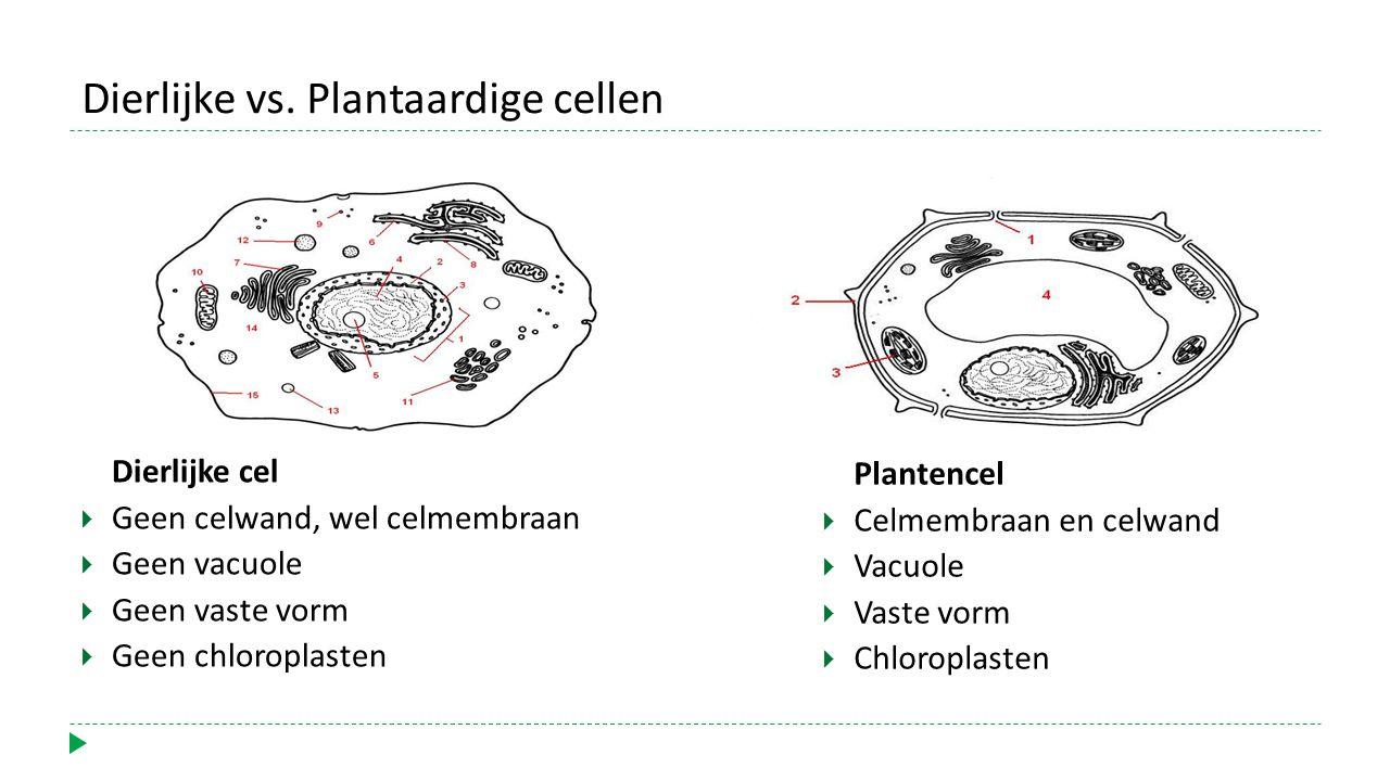 Dierlijke cel  Geen celwand, wel celmembraan  Geen vacuole  Geen vaste vorm  Geen chloroplasten Dierlijke vs.