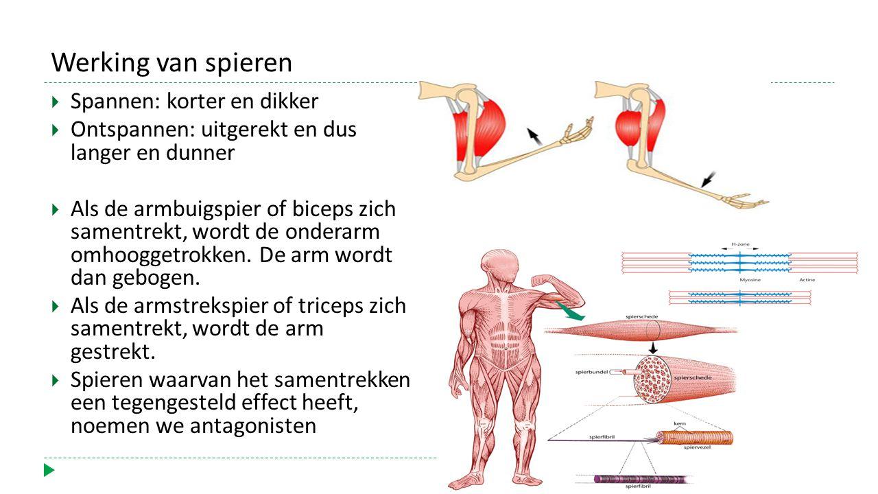 Werking van spieren  Spannen: korter en dikker  Ontspannen: uitgerekt en dus langer en dunner  Als de armbuigspier of biceps zich samentrekt, wordt de onderarm omhooggetrokken.