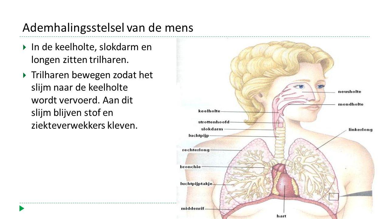 Ademhalingsstelsel van de mens  In de keelholte, slokdarm en longen zitten trilharen.