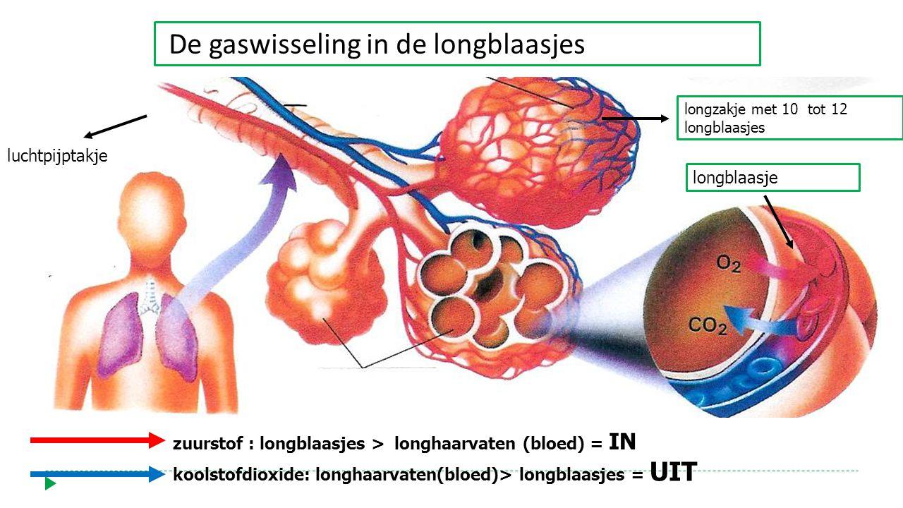 zuurstof : longblaasjes > longhaarvaten (bloed) = IN koolstofdioxide: longhaarvaten(bloed)> longblaasjes = UIT luchtpijptakje longzakje met 10 tot 12 longblaasjes longblaasje De gaswisseling in de longblaasjes