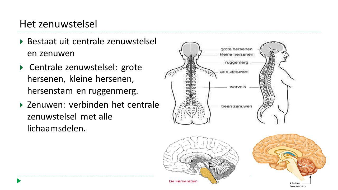 Het zenuwstelsel  Bestaat uit centrale zenuwstelsel en zenuwen  Centrale zenuwstelsel: grote hersenen, kleine hersenen, hersenstam en ruggenmerg.