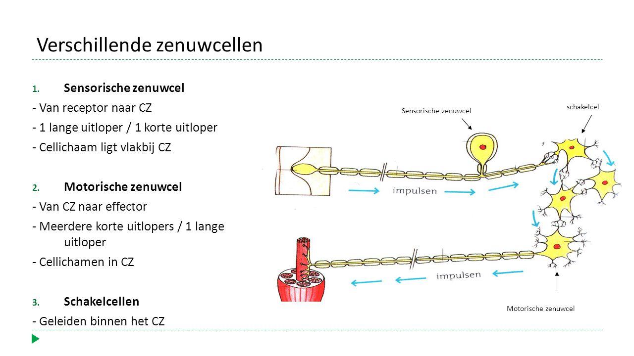 1. Sensorische zenuwcel - Van receptor naar CZ - 1 lange uitloper / 1 korte uitloper - Cellichaam ligt vlakbij CZ 2. Motorische zenuwcel - Van CZ naar