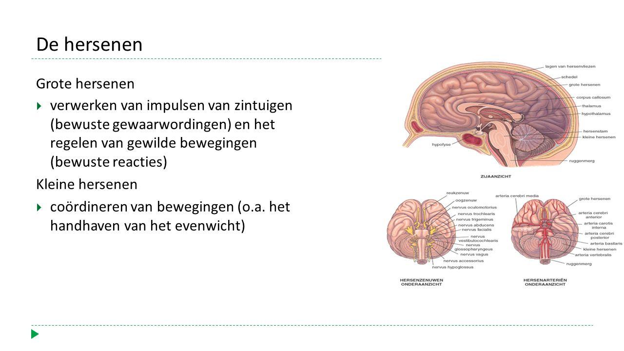 De hersenen Grote hersenen  verwerken van impulsen van zintuigen (bewuste gewaarwordingen) en het regelen van gewilde bewegingen (bewuste reacties) Kleine hersenen  coördineren van bewegingen (o.a.