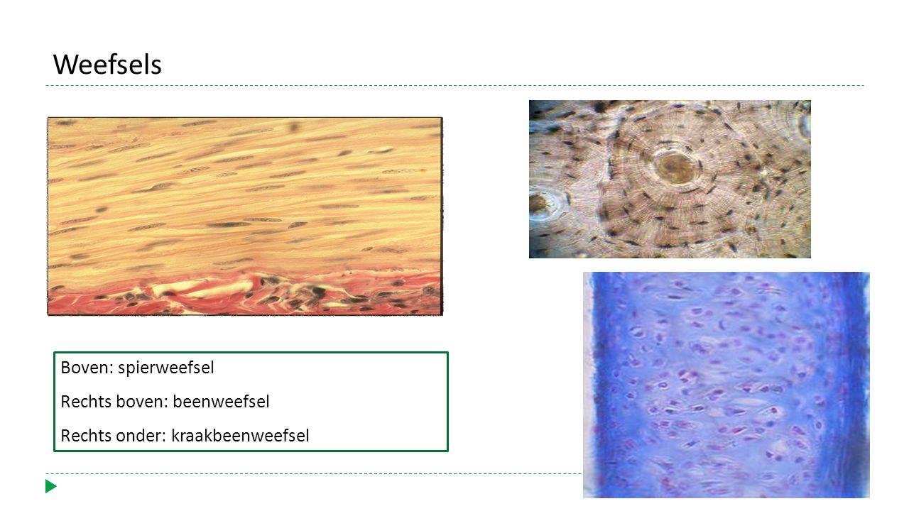 Boven: spierweefsel Rechts boven: beenweefsel Rechts onder: kraakbeenweefsel Weefsels
