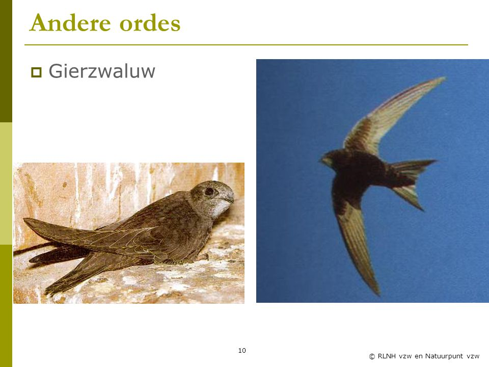 10 © RLNH vzw en Natuurpunt vzw Andere ordes  Gierzwaluw