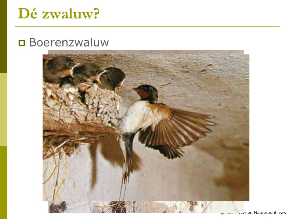 8 © RLNH vzw en Natuurpunt vzw Dé zwaluw?  Boerenzwaluw