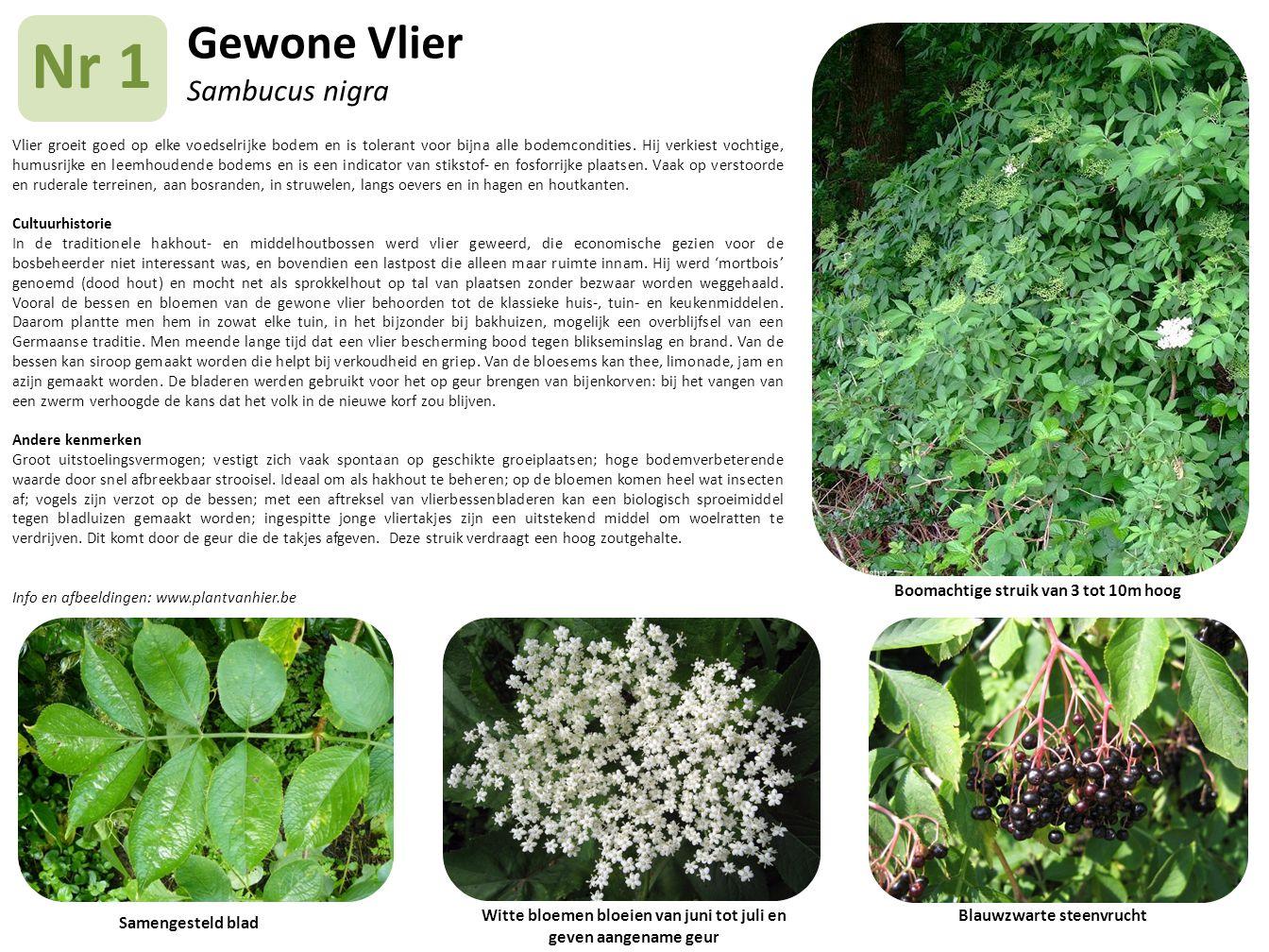 Gewone Vlier Sambucus nigra Vlier groeit goed op elke voedselrijke bodem en is tolerant voor bijna alle bodemcondities. Hij verkiest vochtige, humusri