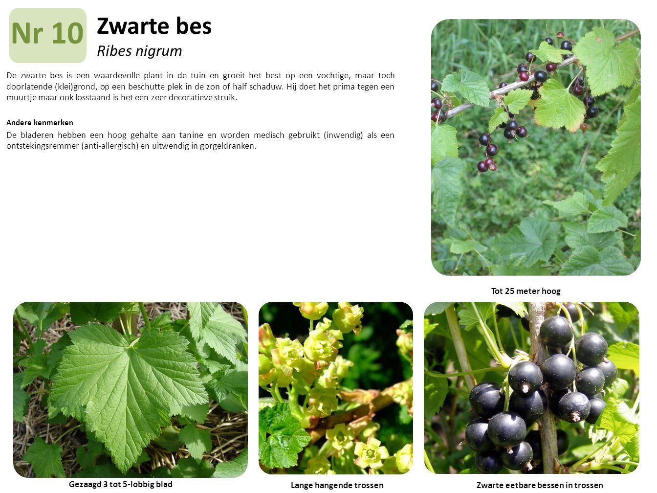 Zwarte bes Ribes nigrum De zwarte bes is een waardevolle plant in de tuin en groeit het best op een vochtige, maar toch doorlatende (klei)grond, op ee