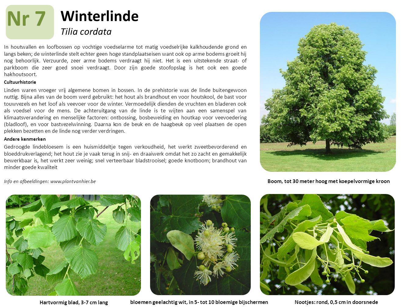 Winterlinde Tilia cordata In houtwallen en loofbossen op vochtige voedselarme tot matig voedselrijke kalkhoudende grond en langs beken; de winterlinde