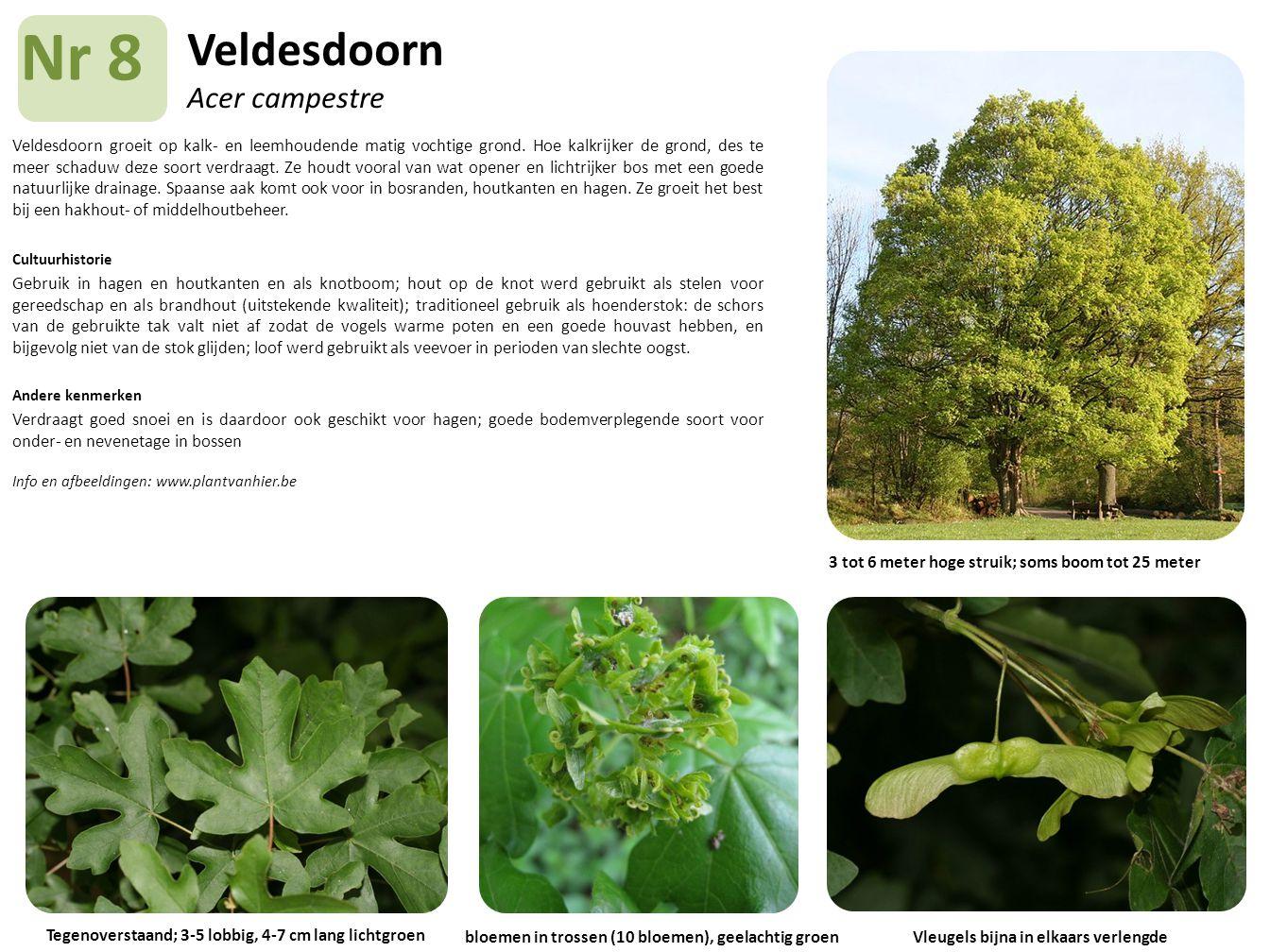 Veldesdoorn Acer campestre Veldesdoorn groeit op kalk- en leemhoudende matig vochtige grond. Hoe kalkrijker de grond, des te meer schaduw deze soort v