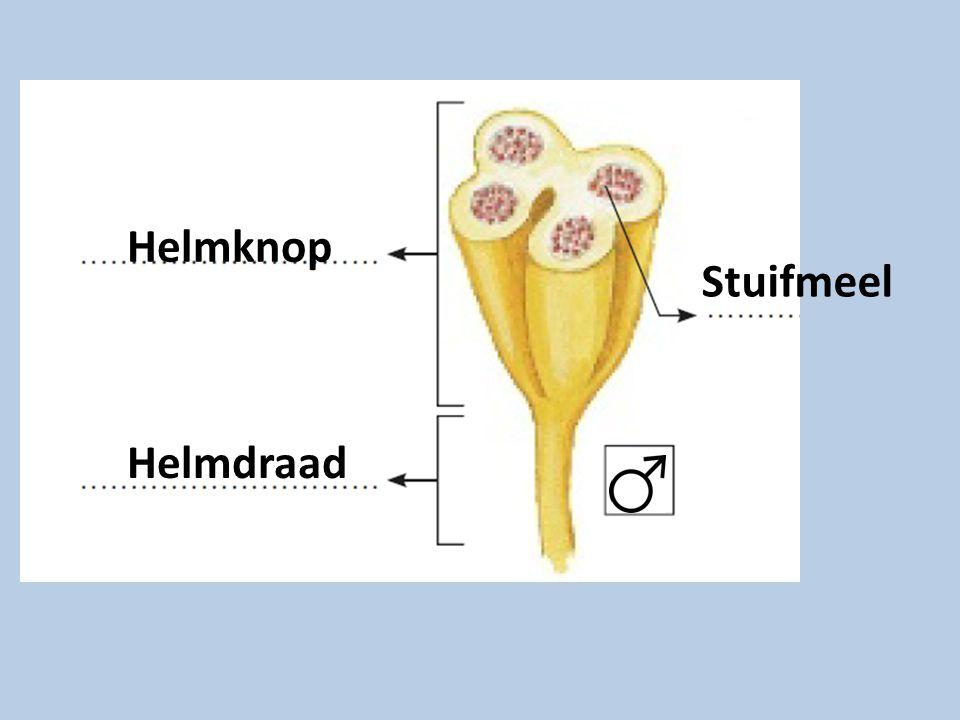 Helmknop Helmdraad Stuifmeel
