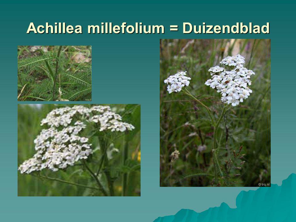 Aegopodium podagraria = Zevenblad
