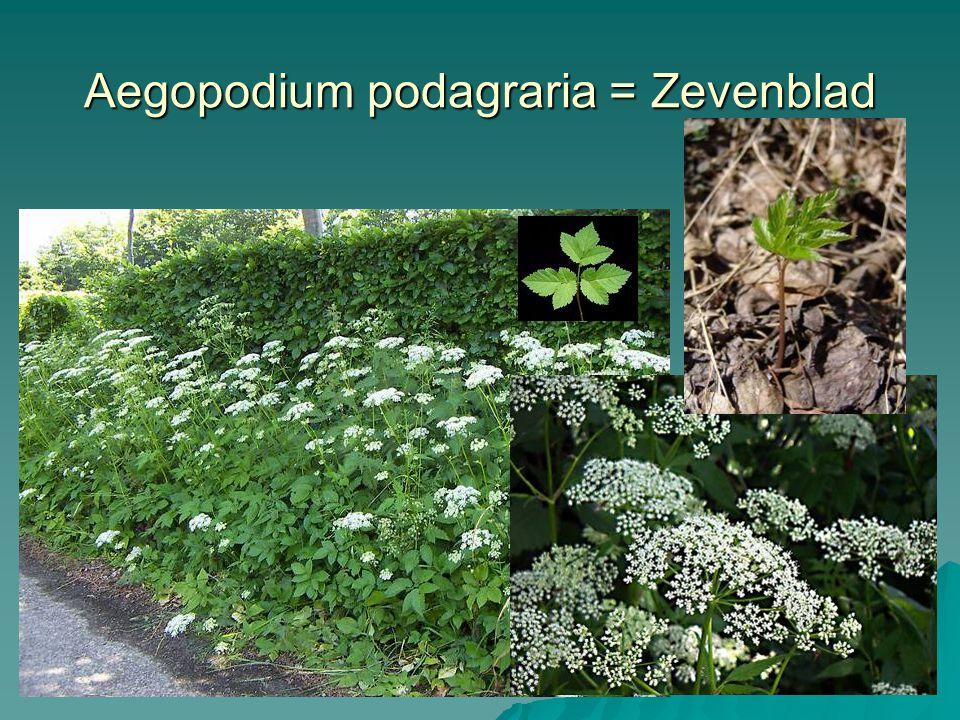 Hypericum perforatum = St. Janskruid