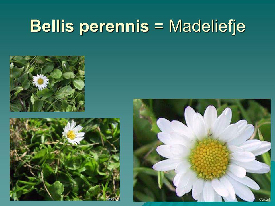 Trifolium repens = Witte klaver