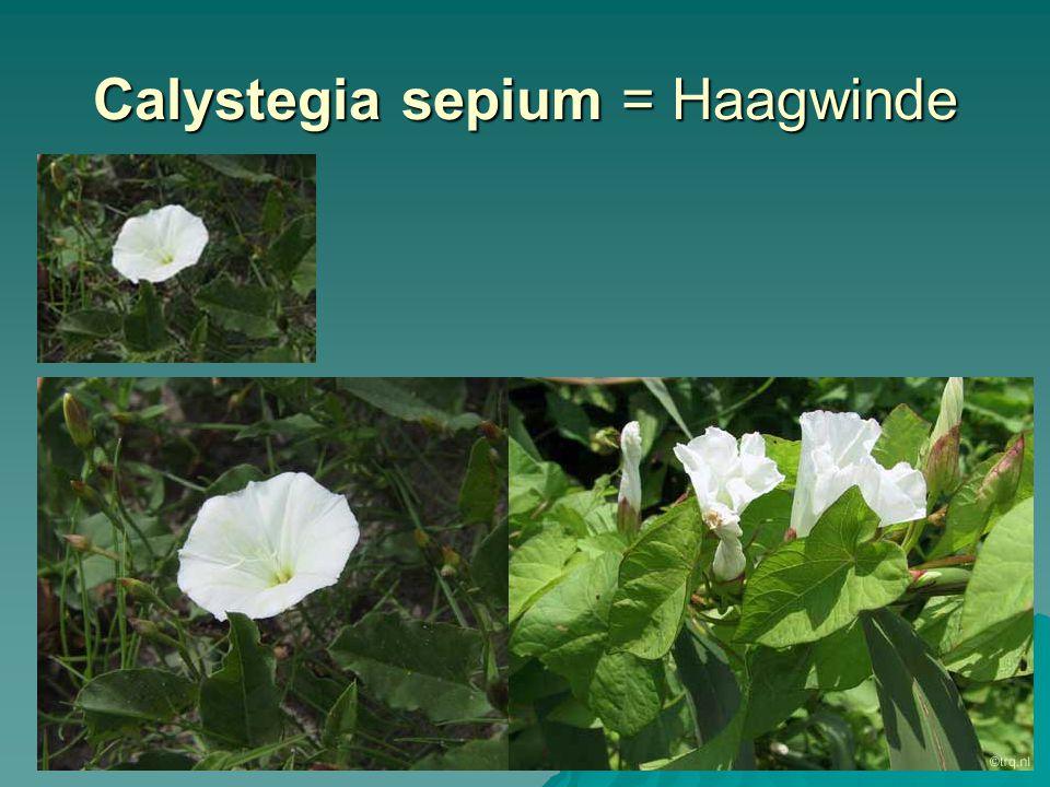 Galinsoga parviflora = Klein knopkruid