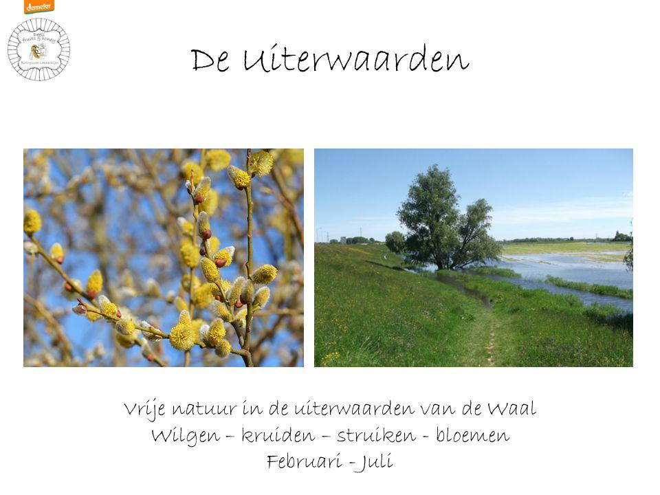 De Uiterwaarden Vrije natuur in de uiterwaarden van de Waal Wilgen – kruiden – struiken - bloemen Februari - Juli