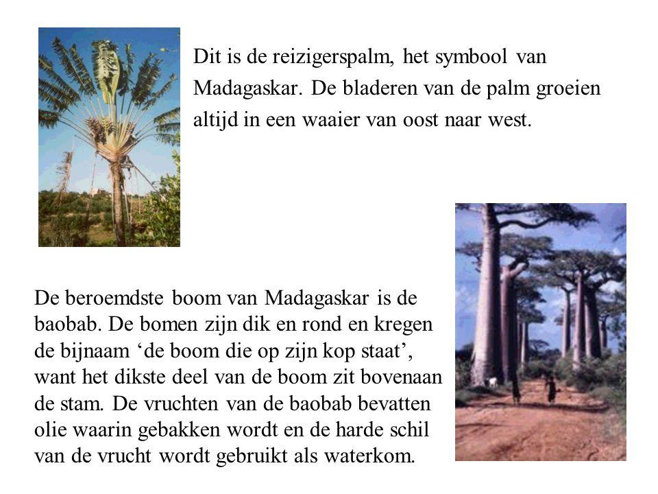 Dit is de reizigerspalm, het symbool van Madagaskar.