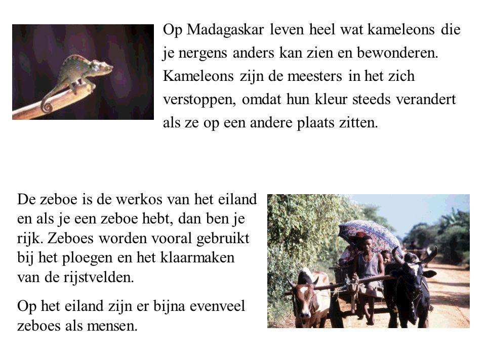Op Madagaskar leven heel wat kameleons die je nergens anders kan zien en bewonderen.