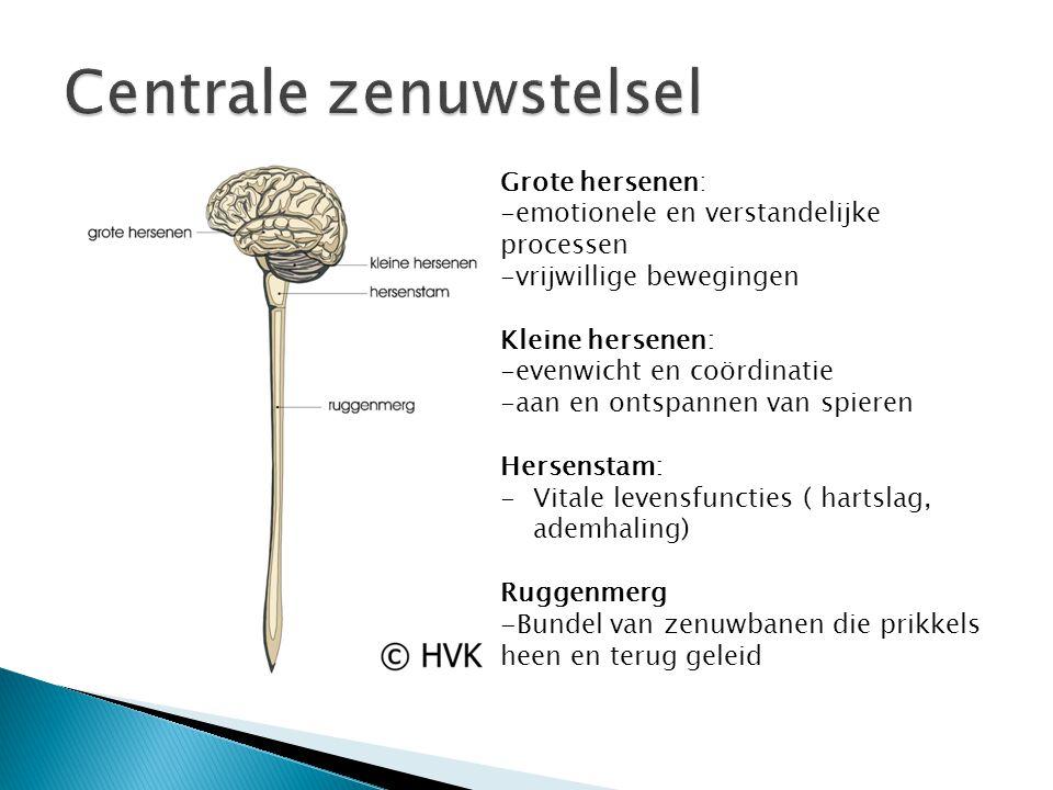 Grote hersenen: -emotionele en verstandelijke processen -vrijwillige bewegingen Kleine hersenen: -evenwicht en coördinatie -aan en ontspannen van spieren Hersenstam: -Vitale levensfuncties ( hartslag, ademhaling) Ruggenmerg -Bundel van zenuwbanen die prikkels heen en terug geleid