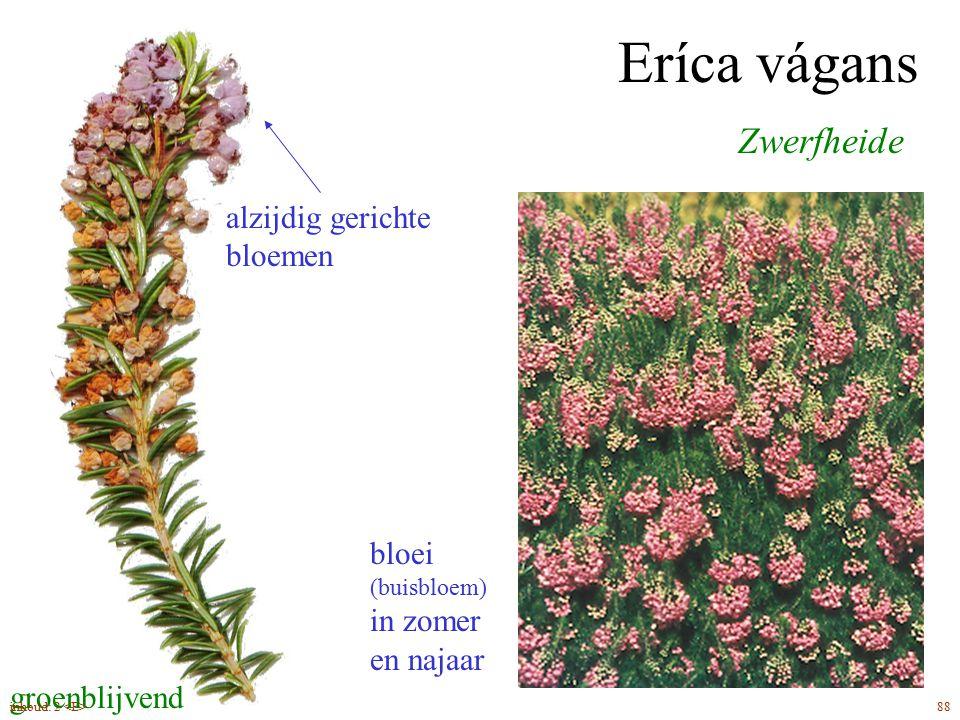 Eríca vágans bloei (buisbloem) in zomer en najaar Zwerfheide alzijdig gerichte bloemen groenblijvend 88inhoud: 2