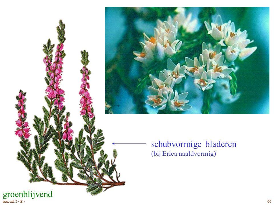 schubvormige bladeren (bij Erica naaldvormig) kelkbladen (bepalen de bloemkleur) kroonbladen (niet buisvormig als bij Erica) groenblijvend Callúna vulgáris blad, bloei 66inhoud: 2