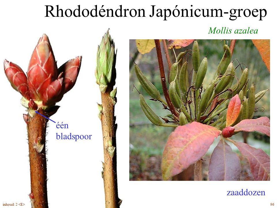 Rhododéndron Japónicum-groep Mollis azalea zaaddozen één bladspoor 96inhoud: 2