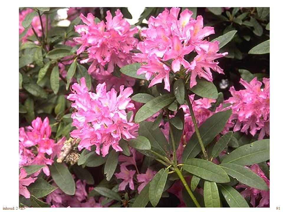 Rhododendron Cataw. bloei 91inhoud: 2