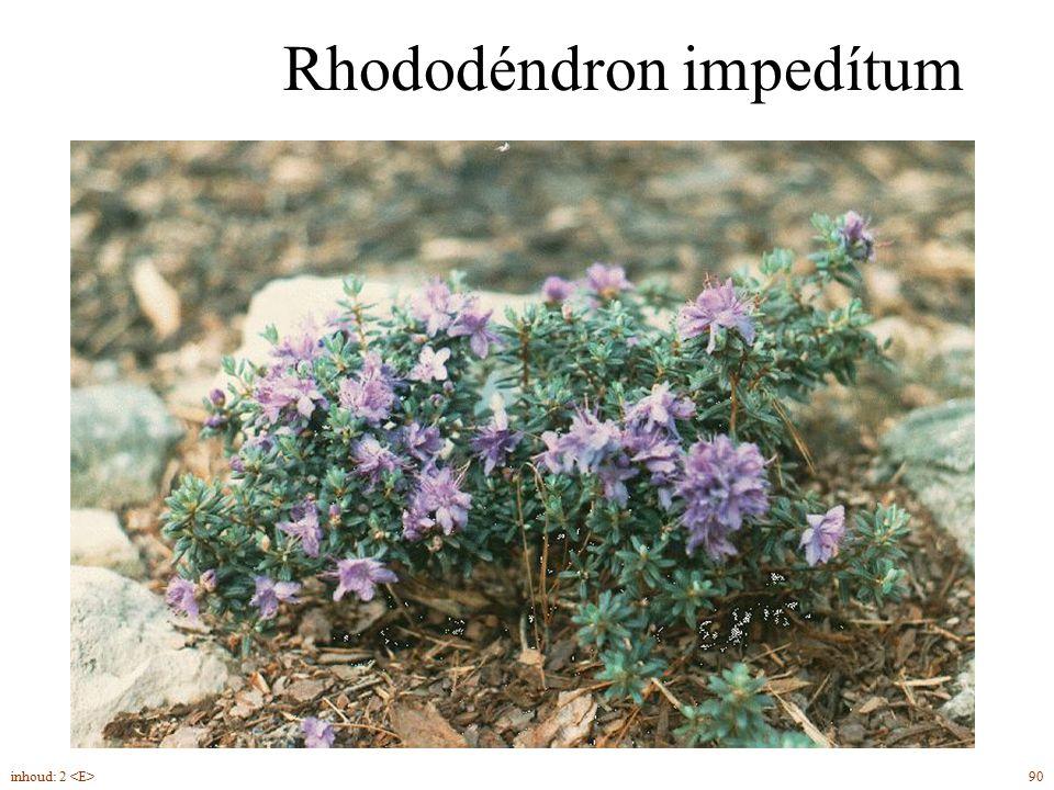 Rhododéndron impedítum 90inhoud: 2